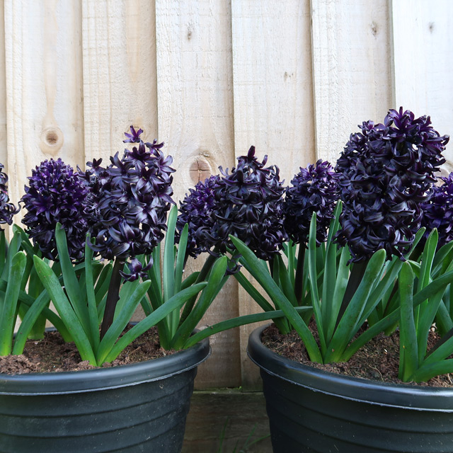 The purple-black flowers of Hyacinth Midnight Mystic® in a shaded area