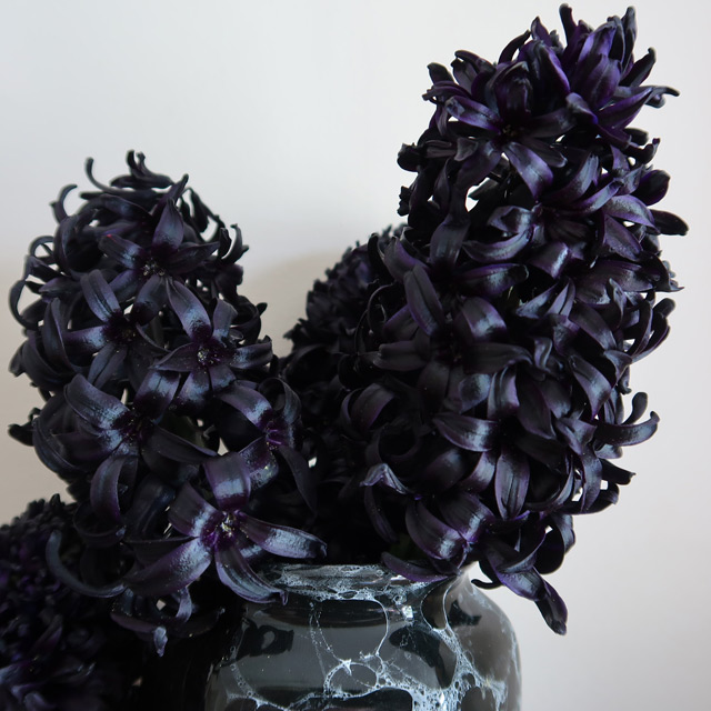 The purple-black flowers of Hyacinth Midnight Mystic® cut and in vases